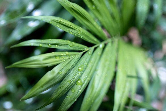 palmier Kentia